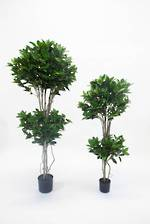 Potted Double Shkiba Topiary in 2 Sizes